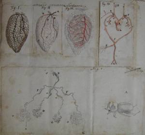 Drawing of frogs' lungs by Jan Swammerdam, 1673. Copyright The Royal Society.